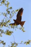 Vliegende roofdiervogelvalk, okavango, Botswana Royalty-vrije Stock Afbeeldingen