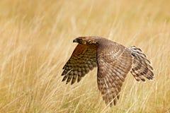 Vliegende roofvogel Goshawk, Accipiter-gentilis, met gele de zomerweide op de achtergrond, vogel in de aardhabitat, actie s royalty-vrije stock afbeeldingen