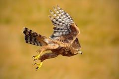Vliegende roofvogel Goshawk, Accipiter-gentilis, met gele de zomerweide op de achtergrond, vogel in de aardhabitat, actie s royalty-vrije stock foto