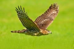 Vliegende roofvogel Goshawk, Accipiter-gentilis, met gele de zomerweide op de achtergrond, vogel in de aardhabitat, actie s stock afbeelding