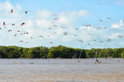 Vliegende roze flamingo boven lagune en mangrovebos Royalty-vrije Stock Foto