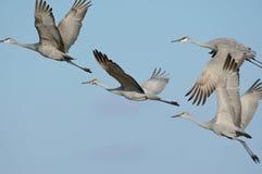 Vliegende Sandhill-Kranen Royalty-vrije Stock Afbeelding
