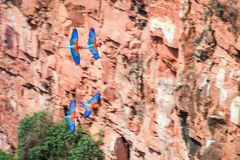 Vliegende scharlaken ara's Stock Fotografie