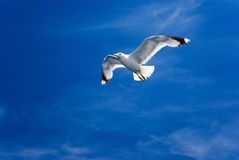 Vliegende slechts zeemeeuw Stock Foto