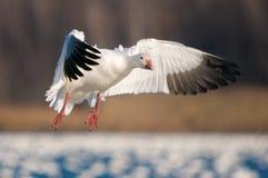 Vliegende Sneeuwgans (Chen caerulescens) Stock Foto's
