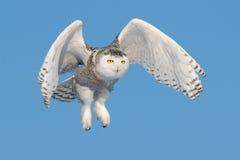 Vliegende Sneeuwuil (Bubo-scandiacus) Stock Foto