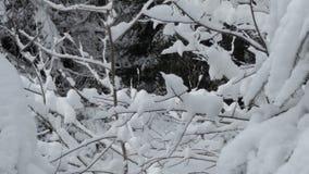 Vliegende sneeuwvlokken in het dichte die pijnboombos met sneeuw in de Karpaten wordt behandeld stock video