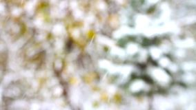 Vliegende sneeuwvlokken op pijnboomboom stock video