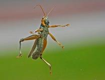 Vliegende Sprinkhaan in medio lucht!! Stock Foto's