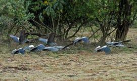 Vliegende troep van Wattled-Ibis Stock Foto's