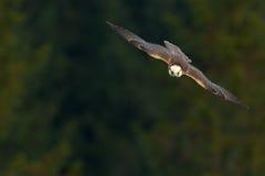 Vliegende valk met bos op de achtergrond Lannervalk, roofvogel, dier in de aardhabitat, Polen Vogel in de vlucht royalty-vrije stock foto's