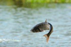 Vliegende vissen Royalty-vrije Stock Foto's