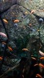 Vliegende vissen Stock Afbeeldingen