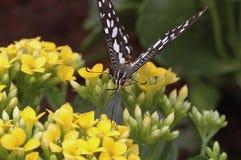 Vliegende vlinder Royalty-vrije Stock Afbeeldingen