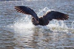 Vliegende vogel die in water landt stock fotografie