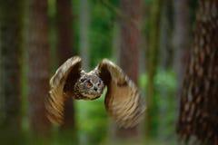 Vliegende vogel Europees-Aziatisch Eagle Owl met open vleugels in bosaardhabitat met bomen, Duitsland, dierlijke actiescène stock afbeeldingen