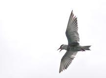Vliegende vogel - Meer Naivasha (Kenia - Afrika) Stock Afbeeldingen