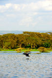 Vliegende vogel - Meer Naivasha (Kenia - Afrika) Stock Foto