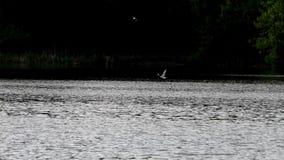 Vliegende vogel op de achtergrond van groen bos, longshot stock video