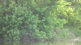 Vliegende vogel op de achtergrond van groen bos, longshot stock footage