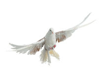 Vliegende vogel van het ras van de duifpauw Royalty-vrije Stock Afbeelding