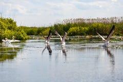 Vliegende vogels en aquatische installaties in de Delta van Donau Stock Foto