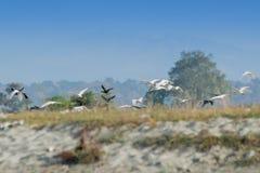 Vliegende vogels - murtirivierbed Royalty-vrije Stock Foto's