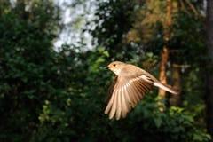 Vliegende vrouwelijke Bonte Vliegenvanger Royalty-vrije Stock Afbeeldingen