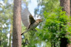 Vliegende vrouwelijke Bonte Vliegenvanger Royalty-vrije Stock Foto