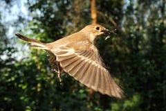 Vliegende vrouwelijke Bonte Vliegenvanger met het voer Royalty-vrije Stock Afbeelding