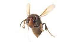 Vliegende wesp Stock Foto
