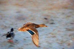Vliegende wilde eend Stock Foto's