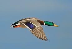 Vliegende Wilde eend Royalty-vrije Stock Foto's