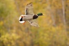 Vliegende wilde eend royalty-vrije stock fotografie