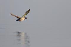Vliegende Wilde eendeend Stock Afbeelding
