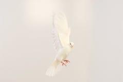 Vliegende witte duif royalty-vrije stock foto's