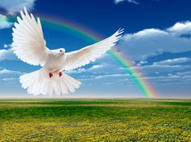 Vliegende witte duif stock afbeelding