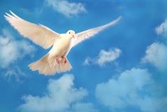Vliegende witte duif die op blauw wordt geïsoleerd Stock Afbeelding