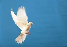 Vliegende witte duif die op blauw wordt geïsoleerde stock fotografie