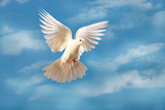 Vliegende witte duif die op blauw wordt geïsoleerde stock foto