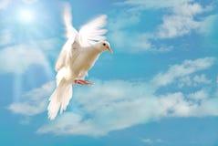 Vliegende witte duif die op blauw wordt geïsoleerdg Stock Foto