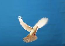 Vliegende witte duif die op blauw wordt geïsoleerdo stock foto