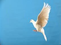 Vliegende witte duif die op blauw wordt geïsoleerdt Stock Afbeeldingen