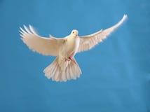 Vliegende witte duif die op blauw wordt geïsoleerdi Stock Foto