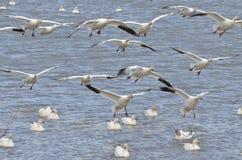 Vliegende witte gans Stock Fotografie