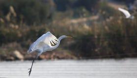 Vliegende witte grote aigrette Het vliegen boven watter royalty-vrije stock foto