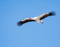 Vliegende witte ooievaar met blauwe hemel Stock Afbeelding