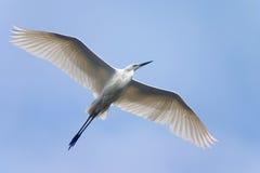 Vliegende witte reiger Royalty-vrije Stock Afbeeldingen