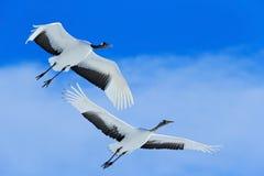 Vliegende Witte twee vogels rood-Bekroond kraan, Grus-japonensis, met open vleugel, blauwe hemel met witte wolken op achtergrond, Stock Afbeeldingen
