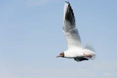 Vliegende zeemeeuw Royalty-vrije Stock Foto's
